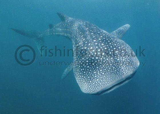 whaleshark, Djibouti, fishinfocus, Caroline Vitalini