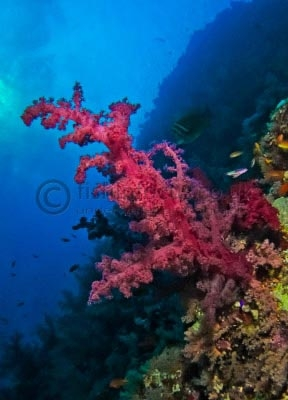 soft coral, Red Sea, fishinfocus, Mario Vitalini