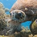 turtle, Red Sea, fishinfocus, Mario Vitalini