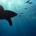 Oceanic white tip, Red Sea, fishinfocus, Mario Vitalini