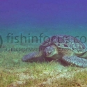 turtle, Red Sea, fishinfocus, Mario Vitalini