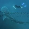 whaleshark, diver, Djibouti, fishinfocus, Caroline Vitalini