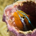 blenny, Red Sea, fishinfocus, Mario Vitalini