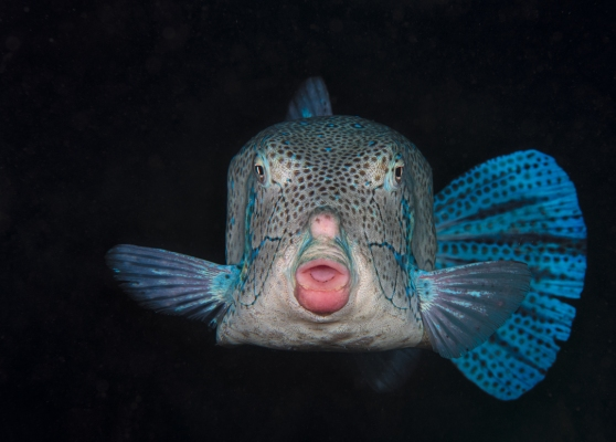 fishinfocus, Mario Vitalini, box fish, underwater photography