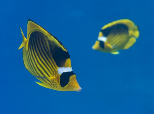 fishinfocus, Mario Vitalini, racoon butterfly fish, underwater photography