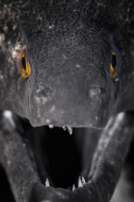 fishinfocus, Mario Vitalini, moray, underwater photography