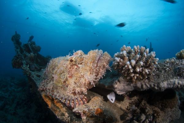 fishinfocus, Mario Vitalini, scorpion fish, underwater photography