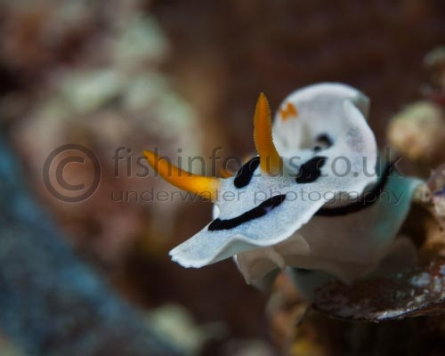 fishinfocus, Mario Vitalini, nudibranch, underwater photography