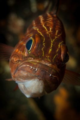 Cardinal fish, fishinfocus, Mario Vitalini, underwater photography