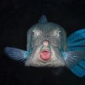 fishinfocus, Mario Vitalini, box fish, underwater photography