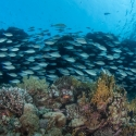 fishinfocus, Mario Vitalini, parrot fish, Shark & Yolanda reef, underwater photography