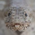 fishinfocus, Mario Vitalini, lizard fish, underwater photography
