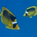 fishinfocus, Mario Vitalini, racoon butterfly fish, underwater photography