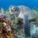 fishinfocus, Mario Vitalini, turtle, underwater photography