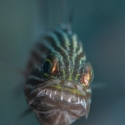 fishinfocus, Mario Vitalini, cardinal fish eggs, underwater photography