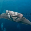 fishinfocus, manta, Mario Vitalini, underwater photography