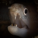 fishinfocus, Mario Vitalini, moray, underwater photography