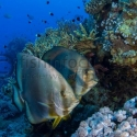 batfish, fishinfocus, Mario Vitalini, underwater photography
