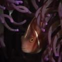 clown fish, fishinfocus, Mario Vitalini, underwater photography