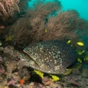 fishinfocus, grouper, Mario Vitalini, underwater photography