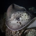 fishinfocus, marble ray, Mario Vitalini, underwater photography