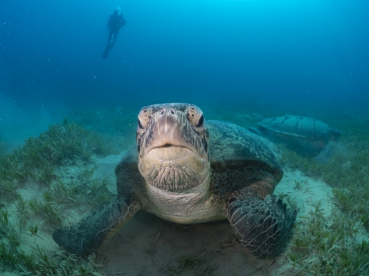 fishinfocus, Mario Vitalini, turtle, OMD, Red Sea