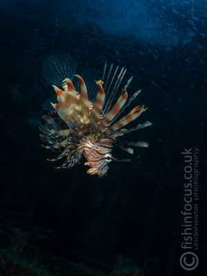 fishinfocus, Mario Vitalini, lion fish, OMD, Red Sea
