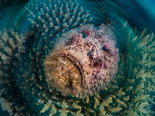 fishinfocus, Mario Vitalini, stone fish, swirl, OMD, Red Sea