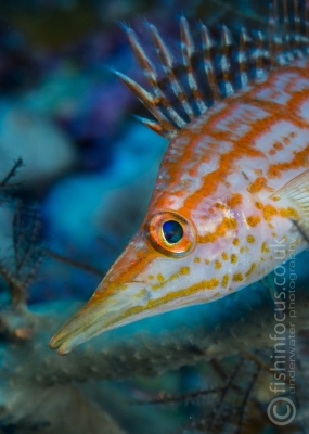 fishinfocus, Mario Vitalini, long nose hawkfish, OMD, Red Sea
