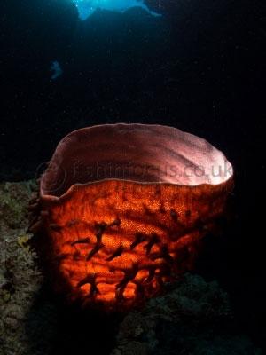 fishinfocus, Mario Vitalini, OMD, Red Sea, sponge