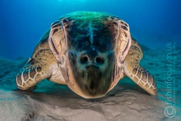 fishinfocus, Mario Vitalini, OMD, Red Sea, turtle