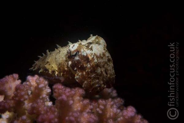cuttlefish, fishinfocus, Lembeh, Mario Vitalini, OMD
