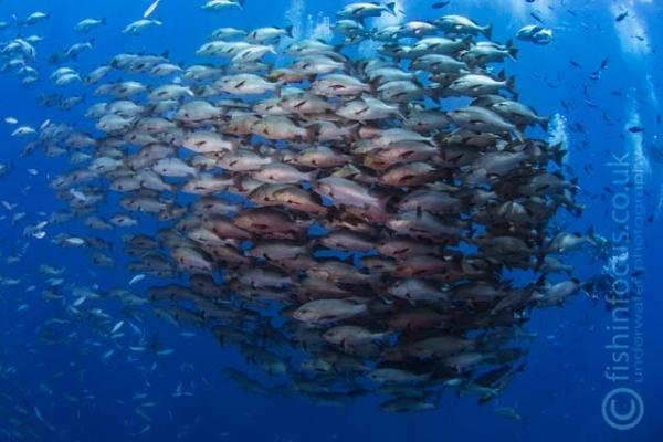 fishinfocus, Mario Vitalini, OMD, Red Sea, snapper