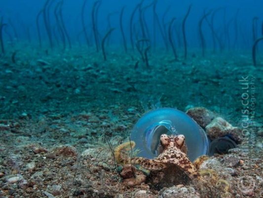 fishinfocus, Mario Vitalini, Octopus, OMD, Philippines