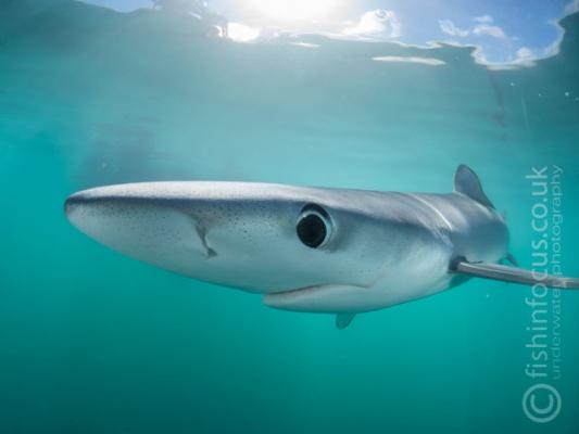 Blue Shark, Cornwall, fishinfocus, Mario Vitalini, OMD
