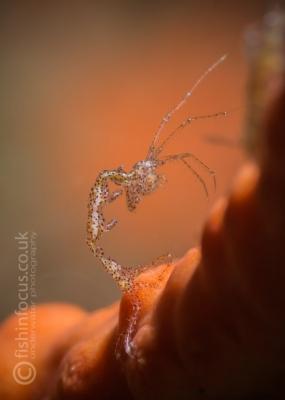 skeleton shrimp, Philippines, fishinfocus, Mario Vitalini, OMD