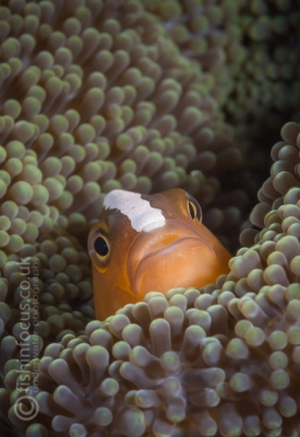 clown fish, Manado, fishinfocus, Mario Vitalini, OMD