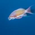 fishinfocus, Mario Vitalini, anthia, OMD, Red Sea