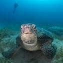 fishinfocus, Mario Vitalini, turtle, OMD, Red Sea