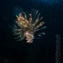 fishinfocus, Mario Vitalini, lion fish, OMD, Red Sea