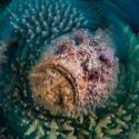 fishinfocus, Mario Vitalini, stone fish, swirl, OMD, Red Sea