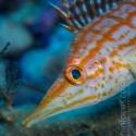 fishinfocus, Mario Vitalini, long nose hawkfish, OMD, Red Sea
