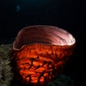 fishinfocus, Mario Vitalini, OMD, Red Sea, sponge