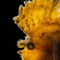 fishinfocus, leaf fish, Lembeh, Mario Vitalini, OMD