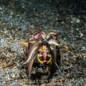 fishinfocus, flamboyant cuttlefish, Lembeh, Mario Vitalini, OMD
