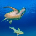 fishinfocus, Mario Vitalini, OMD, Red Sea, turtle