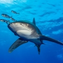 fishinfocus, Mario Vitalini, Oceanic white tip, OMD, Red Sea