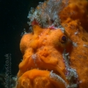 frogfish, Lembeh, fishinfocus, Mario Vitalini, OMD