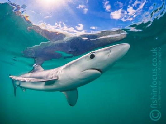 Cornwall blue shark, fishinfocus, Mario Vitalini, trips, workshops