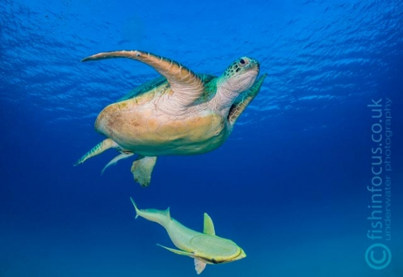 fishinfocus, Mario Vitalini, trips, turtle Red Sea, workshops